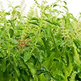 Basil Seeds - Sweet Dani - 1000 Seeds - Non-GMO, Heirloom - Herb Garden Seeds by Mountain Valley Seeds