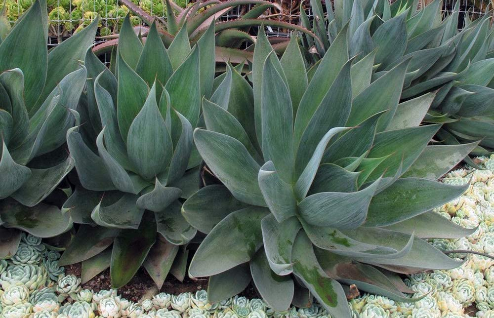Amazon Com Blue Flame Agave 2 Pack 2 5 Pots Hybrid Clumping