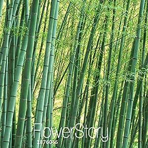 La pérdida de la promoción! 30 piezas Semillas Semillas fresco gigante Moso bambú para el jardín de DIY Planta, # EN23V6