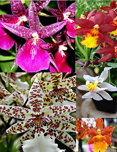 Sale - 3 Large Live Orchids Plants(Cattleya,Oncidium,Dendrobium) by Angels Orchids (Image #3)