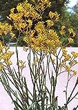 TROPICA - Kangaroo Paw (Anigozanthos flavidus) - 100 Seeds - Australia