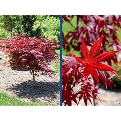 Yubae Japanese Maple 2 - Year Live Plant : Tree Plants : Garden & Outdoor