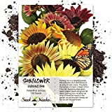 buy 130 Sunflower Seeds - Evening Colors (Helianthus annuus) Seeds By Seed Needs now, new 2020-2019 bestseller, review and Photo, best price $3.85