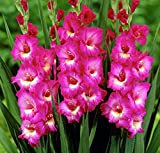 Windsong Large Flowering Gladiolus Bulbs - 10 Bulbs - 14/+ cm