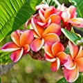 "Rainbow Plumeria - Select Rainbow PLANTS - not cuttings! FRAGRANT Blooms This Summer! Stout 12""-14"" well-rooted plant- Ships from USA from Easy to Grow Bulbs"