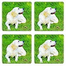 MSD Square Coasters IMAGE 22997221 Stain Resistance Kit Kitchen Table Top Desk C A young beautiful golden retriever sitting happily on the lawn Known for their