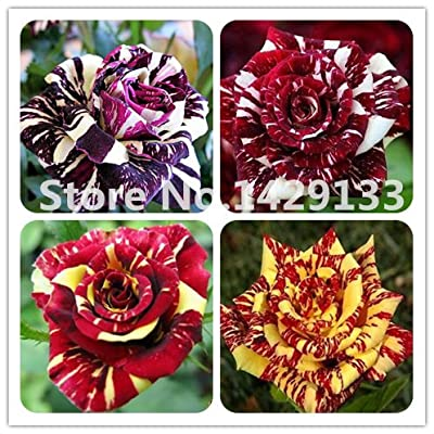 HOO PRODUCTS - Strip Shrub Rose Flowers Seeds 200PCS Rare Bush Rainbow Rose seed Yello Red Pink Purple Garden Bonsai Exotic Plant Cheap!