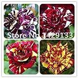 HOO PRODUCTS - Strip Shrub Rose Flowers Seeds 200PCS Rare Bush Rainbow Rose seed Yello Red Pink...
