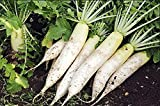 buy Japanese Minowase (Daikon) Radish Seeds, 100+ Premium Heirloom Seeds, ON SALE, (Isla's Garden Seeds), Non Gmo Organic, 99.7% Purity, Survival Seeds, Highest Quality! now, new 2018-2017 bestseller, review and Photo, best price $5.99