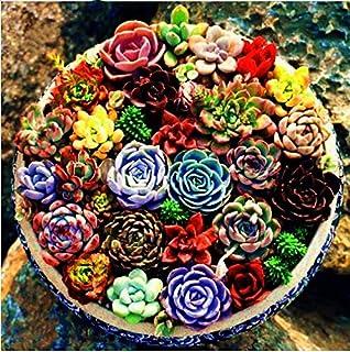 Pinkdose 200 pz Mix Colore Rara Bellezza Piante grasse Facile da coltivare Pianta Lithops in vaso Piante bonsai per giardino domestico