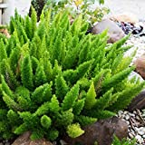 Outsidepride Asparagus Fern Sprengeri Plant Seed - 100 Seeds