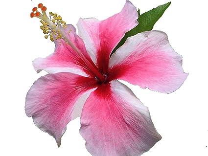 Amazoncom Tahitian Maid Tropical Heirloom Hibiscus Live Plant
