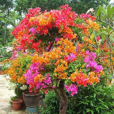 hfjeigbeujfg Garden Seeds, 100Pcs Multicolor Bougainvillea Speetabilis Seeds DIY Home Garden Flower Plant : Garden & Outdoor