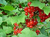* RED CURRANT BERRY BUSH *Rare*SHOWY*Ornamental*E-Z GRO*15 seeds*FRUITS* #1223