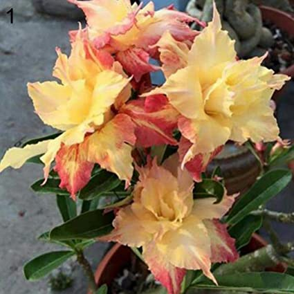 Semillas Plantas 20Pcs Adenium Obesum Desert Rose Semillas de Plantas de Flor de Bonsai Oficina Jardín Decoración - 1# Desert Rose Semillas: Amazon.es: Deportes y aire libre