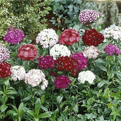 (500 Sweet William Seeds Mix Flower Seeds)