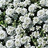 Candytuft Iberis Flower Garden Seeds - Dwarf Fairy Mixture - 4 Oz - Annual Flower Gardening Seeds - Iberis umbellata