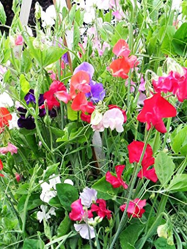 Sweet Pea Everlasting Mixed Color - Perennial Seeds -