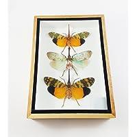 Zanna Nobilis Real Beetle Mounted Beetles Bug Insects Taxidermy Entomology Display Box