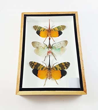 Insect Taxidermy mount