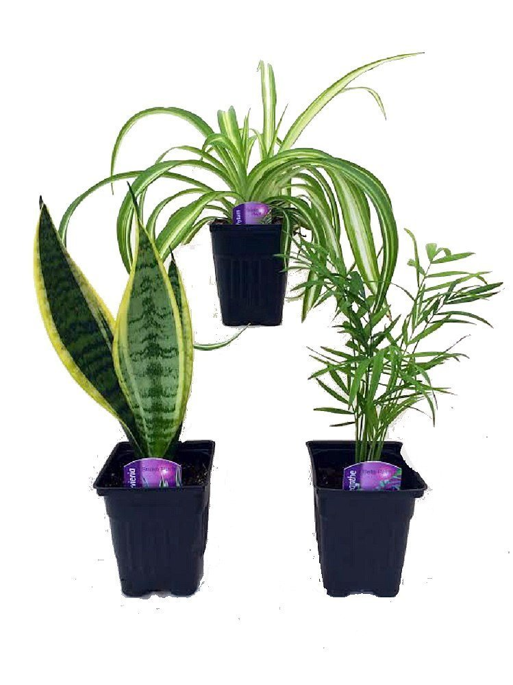 Hirt's House Plant Collection - Parlor Palm, Spider Plant, Snake Plant