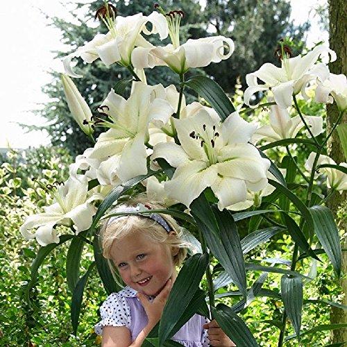 Lily Bulbs - Giant OT Zambesi - Bag of 5, Bulk, Mid to Late Summer/White Flowers