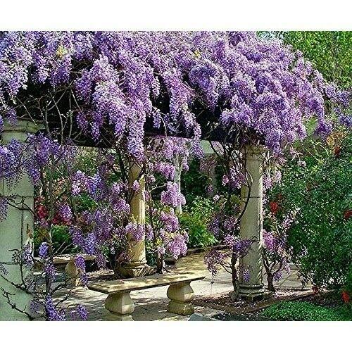 Live Plant Amethyst Falls Wisteria Vine Flowers 3'' Pot Garden Outdoor Yard