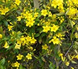 Yellow Carolina Jasmine Vine - Live Plant - Trade Gallon Pot