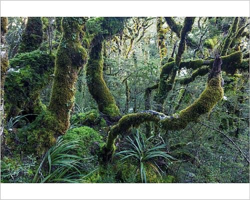 Photographic Print of Mossy green rainforest, Routebourn track, New - Southland Australia