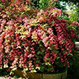 Old Fashioned Weigela Bush Seeds (Weigela florida) 40+Seeds
