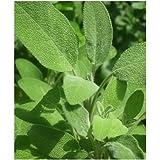 6 Purple Sage herb Plug Plants *Perennial herb*