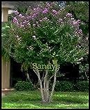 Sandys Nursery Online Crape Myrtle Muskogee Tree ~Lavender flower~