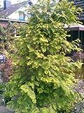 Urwelt Mammutbaum Metasequoia glyptostroboides 80-100 cm hoch im 5 Liter Pflanzcontainer