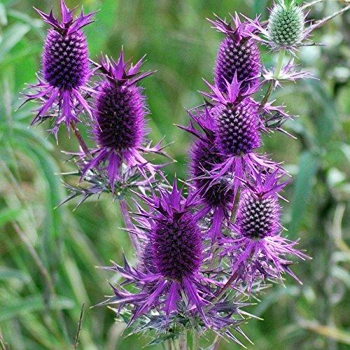 (10 Leavenworth Eryngo Seeds,ERYNGIUM leavenworthii False Purple Thistle [Purple )