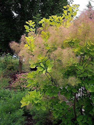 golden-spirit-smokebush-cotinus-coggygria-coral-autumn-colors
