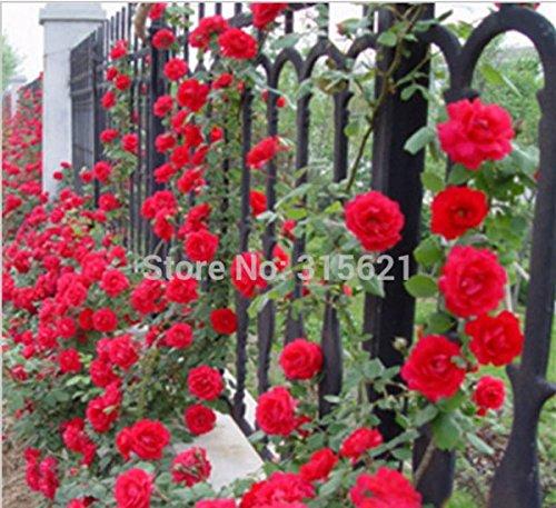 Polyantha Rose - Mr.seeds Red Climbing Plant Polyantha Rose Seeds DIY Home Garden Courtyard Pot Flower 100pcs
