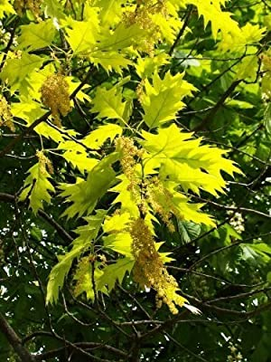 5 NORTHERN RED OAK TREE (aka Champion, Common, Eastern, Mountain, & Grey Oak) Quercus Rubra Seeds Acorns by Seedville