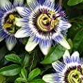 Hardy Passionflower Seeds (Passiflora incarnata) 5+ Medicinal Herb Seeds + FREE Bonus 6 Variety Seed Pk - a $29.95 Value! Packed in FROZEN SEED CAPSULES for Growing Seeds Now or Saving Seeds for Years