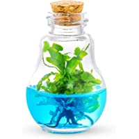 Venus Fly Trap, B52 mericlone, Maintenance Free, 100% Growth Guarantee
