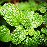 "Herb Mint Spearmint - Live PLANT in 4"" Pot - Edible Mint Plant"
