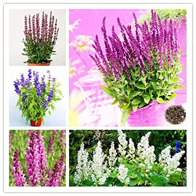 Hot Selling 100PCS/Pack Sage Bonsai, Chia Plant, Magic Bonsai Sage Perennial Balcony Bonsai Flower Bonsai - (Color: 1): Garden & Outdoor