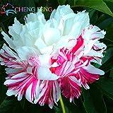 Peony cinese, semi radice di peonia, - 10pcs Rare peonia cinese che pianta i semi di verde e fiori Terrazza Cortile Giardino