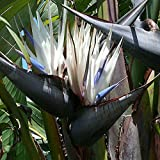 Giant white BIRD OF PARADISE Strelitzia nicolai seeds