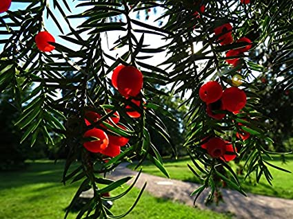 amazon com home comforts laminated poster yew poisonous plant yew