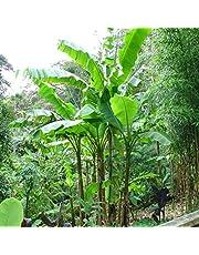 Musa basjoo – Banano giapponese (varietà nana resistente al freddo) [Vaso Ø21cm]