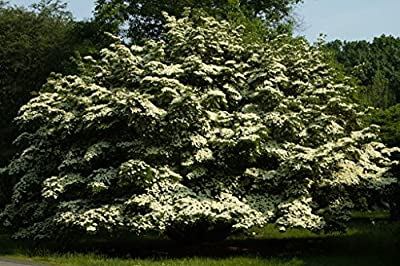 Kousa Dogwood Tree - Healthy Plants -White Flowering - Super Roots - 3 Pack