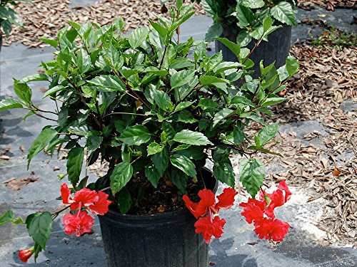 Hibiscus rosa-sinensis spp., Tropical Hibiscus, Chinese Hibiscus - Bush - 1 Gallon - 4 pack by PlantVine