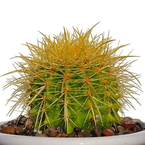 "4"" Plus Echinocactus Grusonii 'Golden Barrel' Cactus Drought Tolerant Plant"