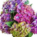 Pistachio Next Generation Mophead Hydrangea - Live Plant - Quart Pot