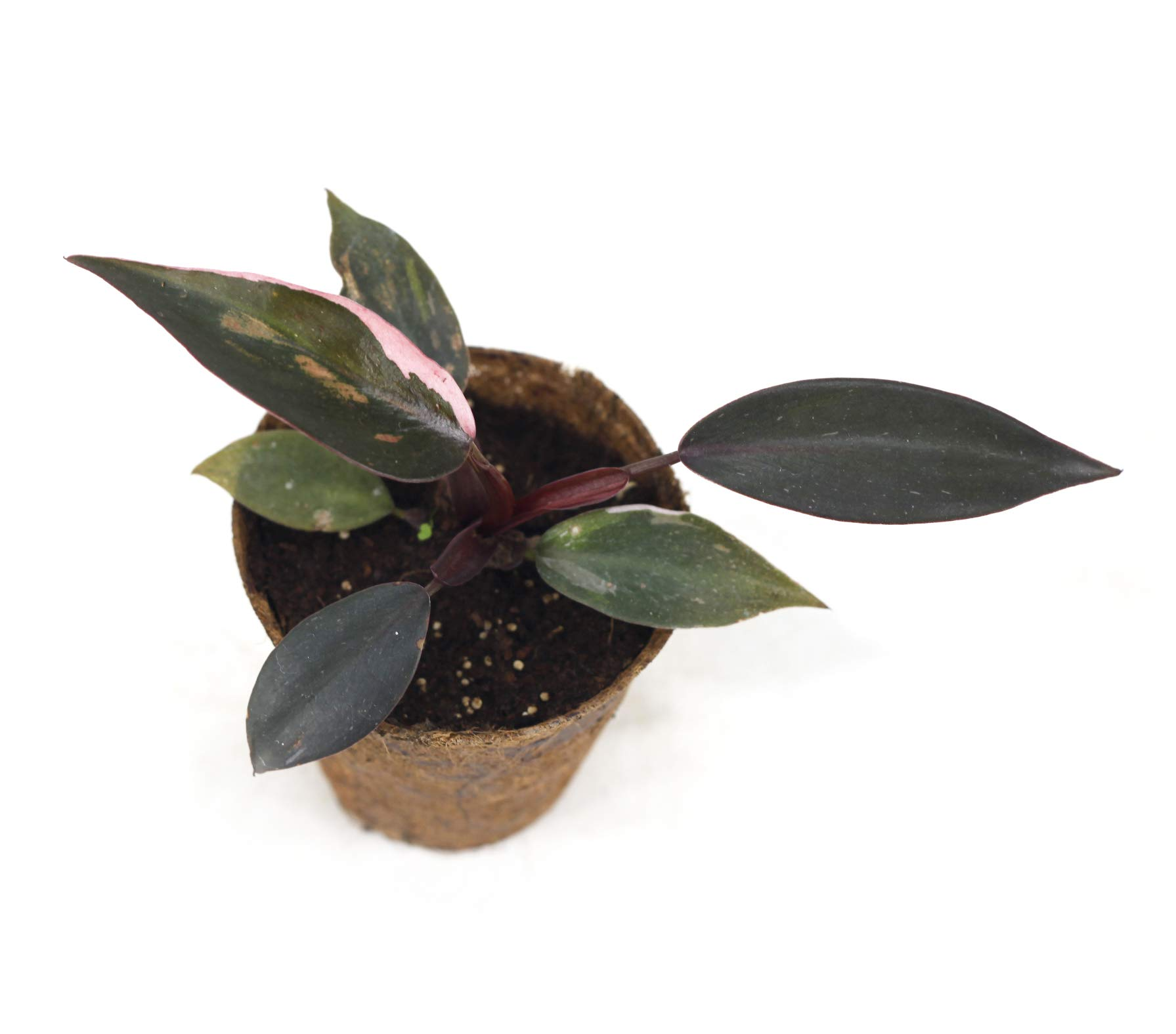 Philodendron Pink Princess(M) by Joinflower Joinfolia